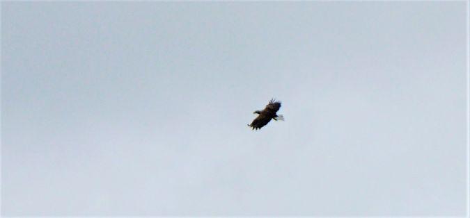 White-tailed Eagle  - Hartmut Ralf