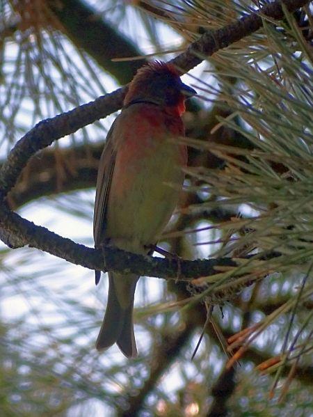 Common Rosefinch  - Hans Wirth