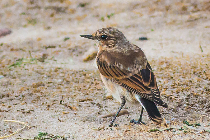 Northern Wheatear  - Horst Habke
