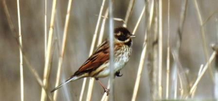 Common Reed Bunting  - Selene Gancedo