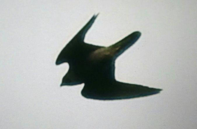 Faucon pèlerin  - Selene Gancedo