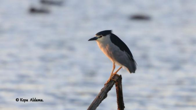 Black-crowned Night Heron  - Kepa Aldama