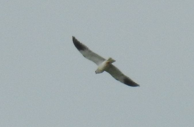 Black-winged Kite  - Selene Gancedo