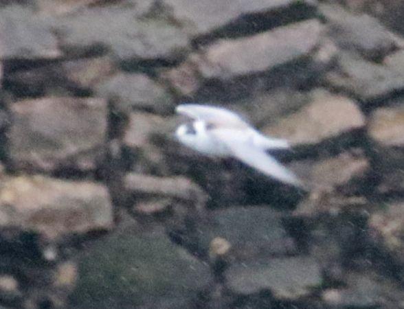 White-winged Tern  - José F. Esparcia