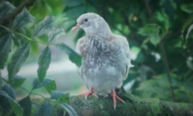 Pigeon biset domestique  - David Santamaría