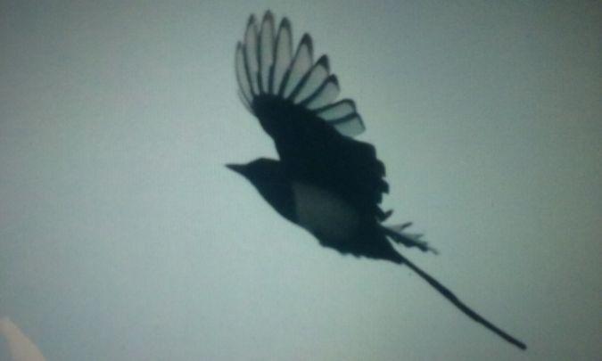 Eurasian Magpie  - David Santamaría