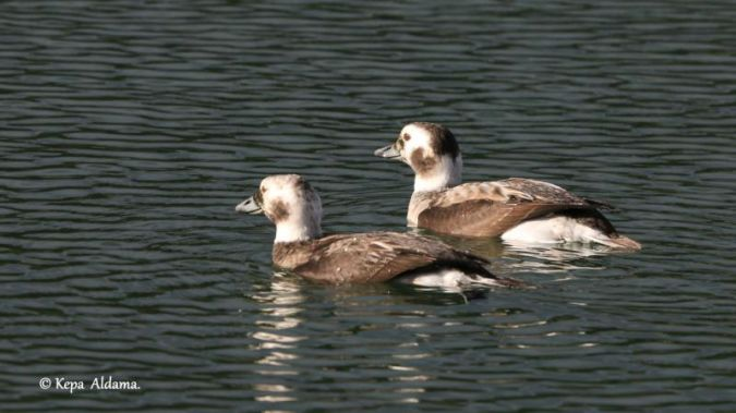 Long-tailed Duck  - Kepa Aldama
