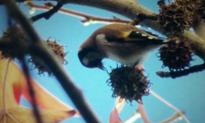 European Goldfinch  - David Santamaría