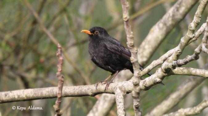 Common Blackbird  - Kepa Aldama