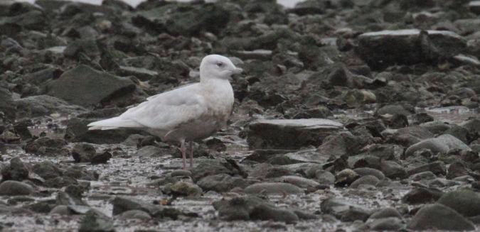 Iceland Gull  - Ivan Sarabia
