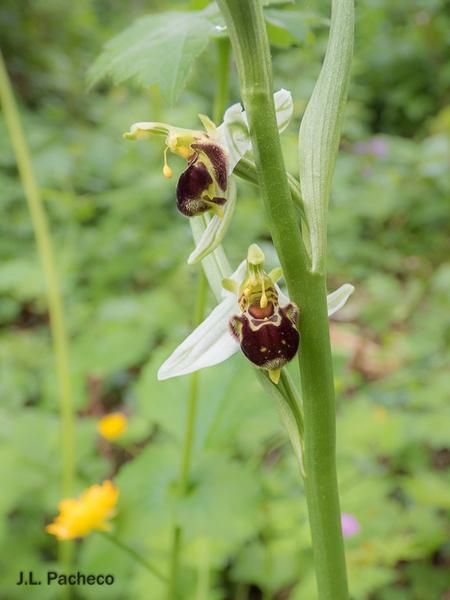Ophrys apifera  - Jose Luis Pacheco