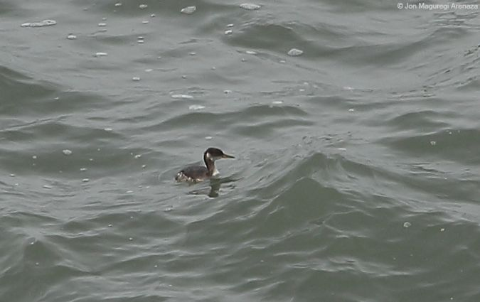 Red-necked Grebe  - Anonymous