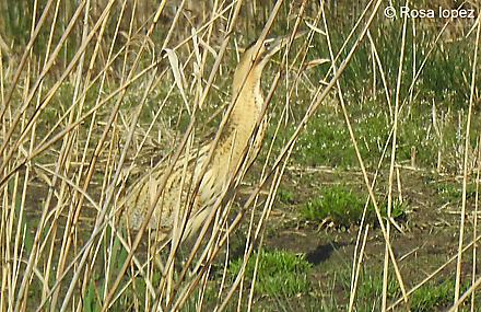 Txori zezen arrunta  - Urdaibai Bird Center