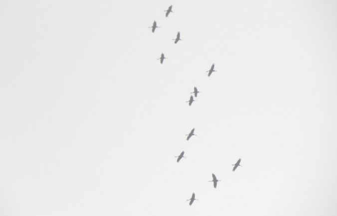 Common Crane  - Menotti Passarella