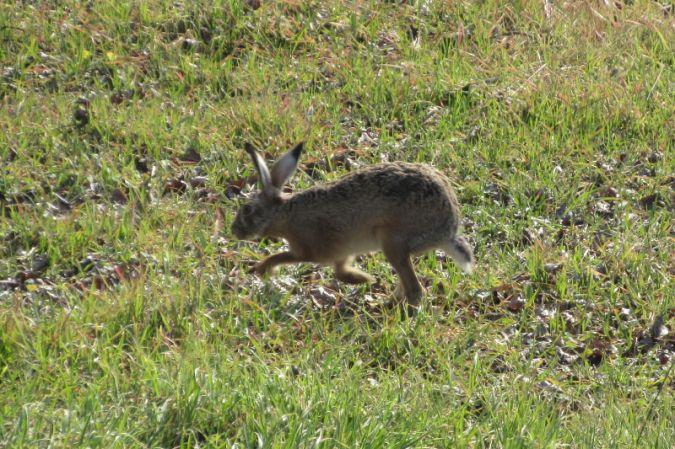 European Hare  - Pietro Melandri
