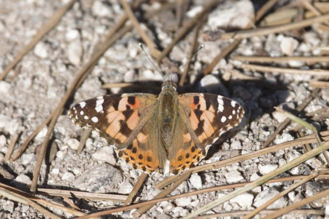Painted Lady  - Michele Cento