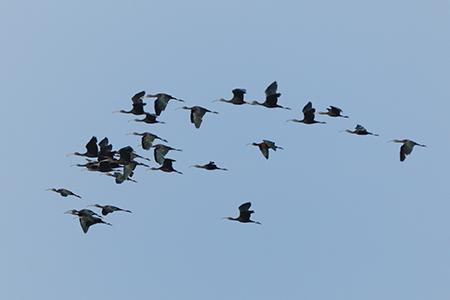 Ibis falcinelle  - Gino Santini