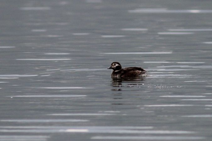 Long-tailed Duck  - Martina Cadin