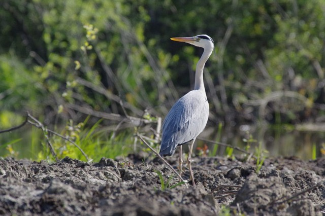 Grey Heron  - Giuseppe Taverna