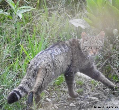 Gatto selvatico  - Mario Paloni