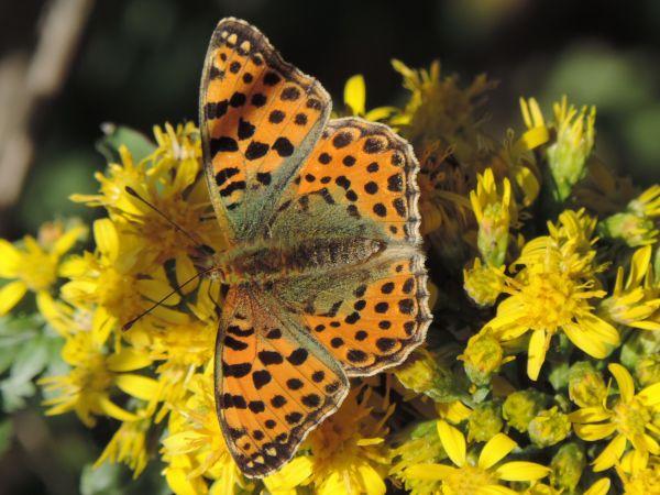 Issoria lathonia  - Luca Passalacqua