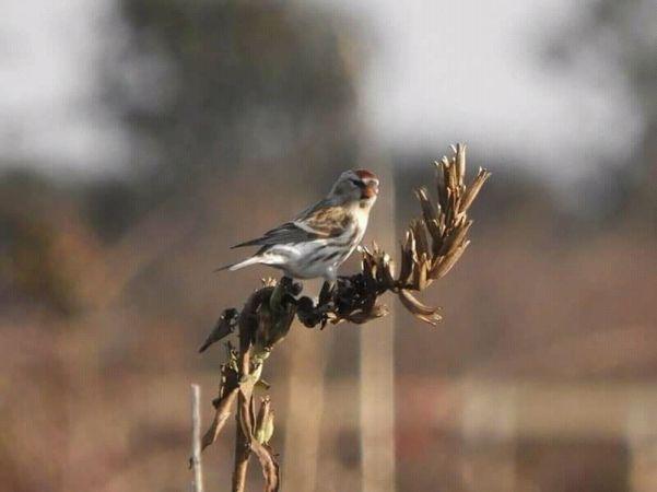 Common Redpoll  - Maria-Giovanna Mitri