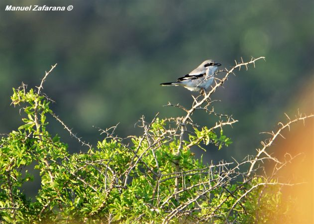 Southern Grey Shrike (L.m.algeriensis)  - Manuel Andrea Zafarana