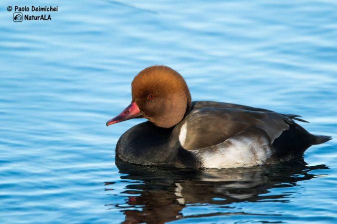 Red-crested Pochard  - Paolo Deimichei