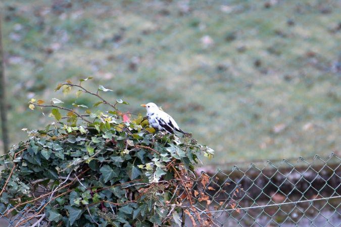 Common Blackbird  - Massimo Benazzo