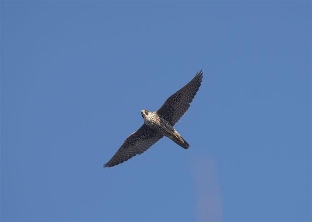 Falco pellegrino  - Gianfranco Colombo