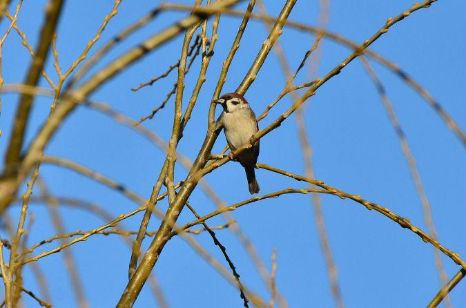 Eurasian Tree Sparrow  - Alfio Sala
