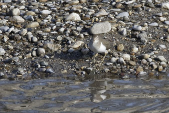 Common Sandpiper  - Filippo Ferraioli