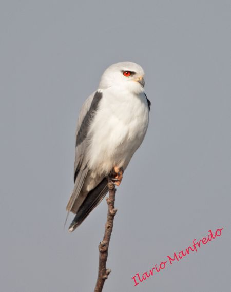 Black-winged Kite  - Ilario Manfredo