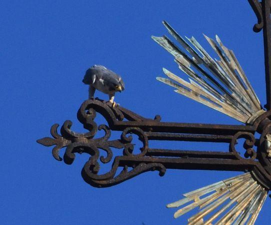 Falco pellegrino  - Ivaldo Gabasio