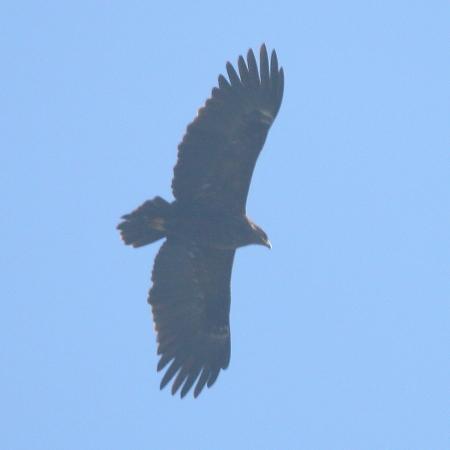 Aquila anatraia maggiore  - Moreno Nalin