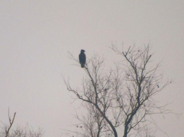 Greater Spotted Eagle  - Danilo Trombin