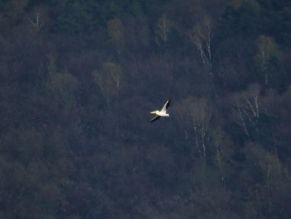 Pélican blanc  - Luca Giussani