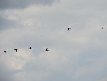 Ibis falcinelle  - Claudio Bucciarelli