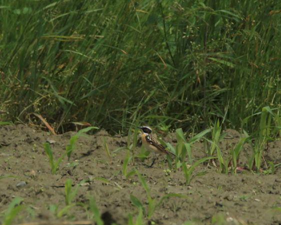 Whinchat  - Marco Esposito