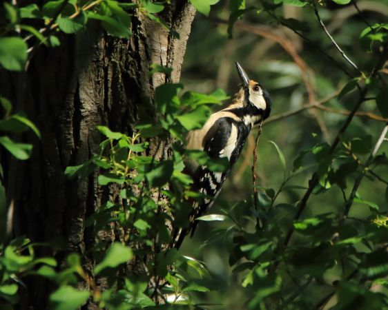 Great Spotted Woodpecker  - Marco Esposito