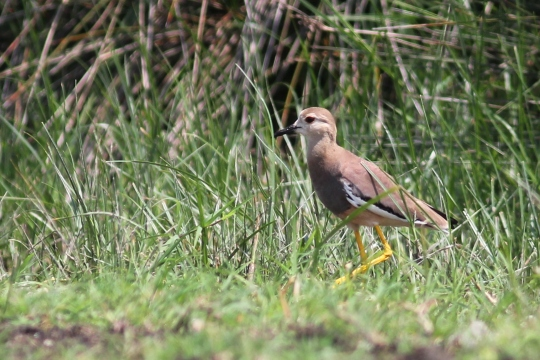 White-tailed Lapwing  - Martina Cadin