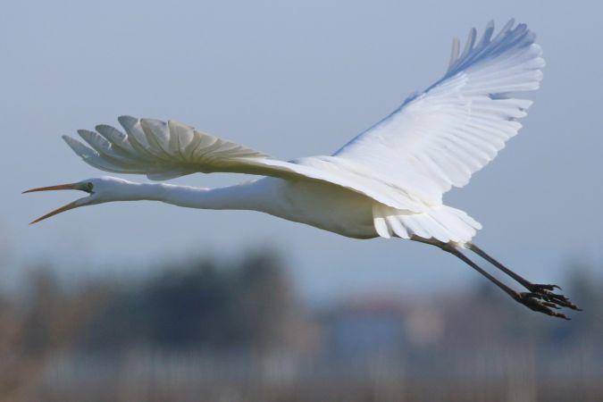 Airone bianco maggiore  - Giancarlo Silveri