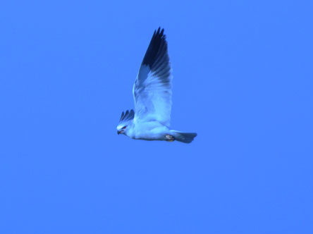 Nibbio bianco  - Renzo Falzoni