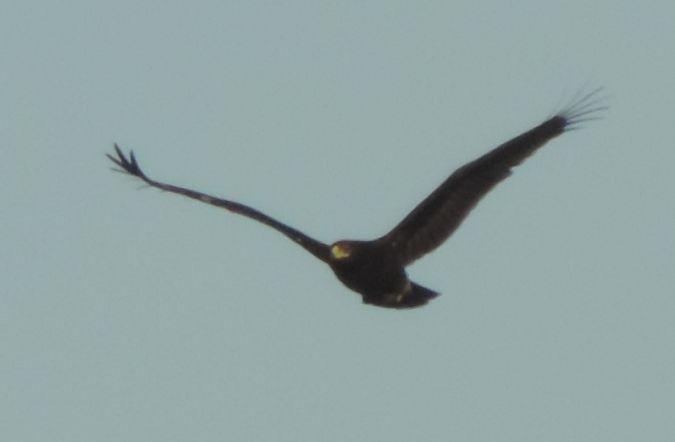 Aigle criard  - Lorenzo Rapa