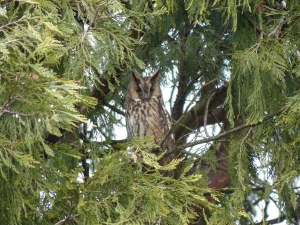 Long-eared Owl  - Franco Roscelli