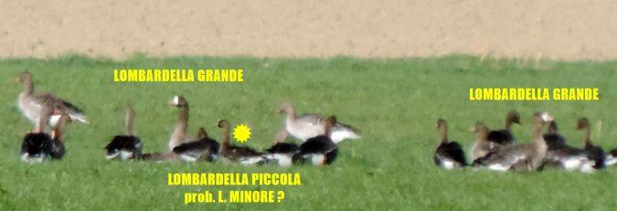 Oca lombardella minore  - Michele Lamberti