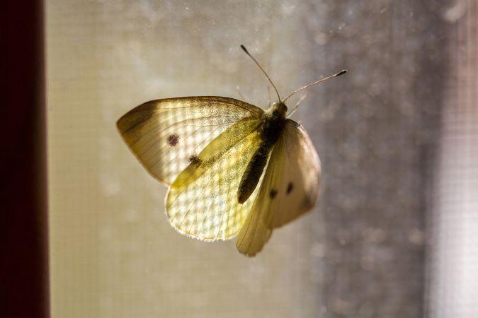 Small White  - Marco Cortemiglia