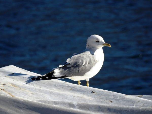 Common Gull (L.c.heinei)  - Massimino Luigi Brigo