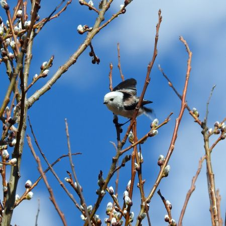 White-headed Long-tailed Tit (A.c.caudatus)  - Walter Stockner