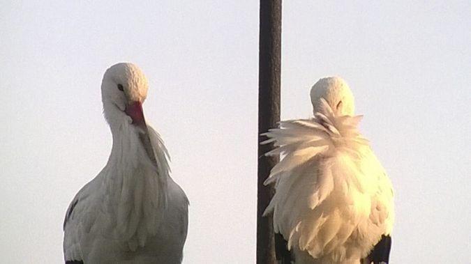 Cicogna bianca  - Marco Sozzi